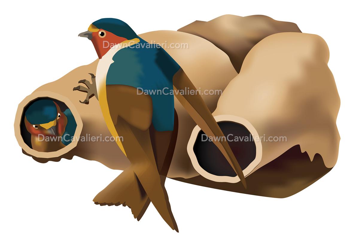 Illustration of cliff swallows by Dawn Cavalieri.